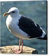Contemplating Life Of A Sea Gull Acrylic Print