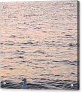 Contemplative Seagull Acrylic Print