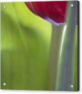 Contemporary Tulip Close Up Acrylic Print by Natalie Kinnear