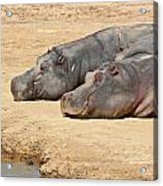 Contented Hippos Acrylic Print by Ed Pettitt