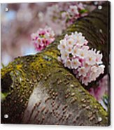 Contrast 1. Pink Spring In Amsterdam Acrylic Print