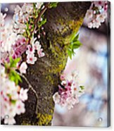 Contrast. Pink Spring In Amsterdam Acrylic Print