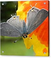 Contrasting Butterfly Acrylic Print