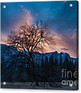 Cooks Meadow Oak At Sunset Acrylic Print