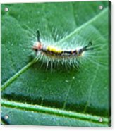 Cool Caterpillar Acrylic Print