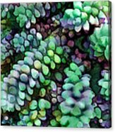 Cool Hued Burro's Tails In The Hot Desert Acrylic Print