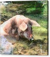 Cool Pig Acrylic Print