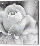 Cool Rose Acrylic Print