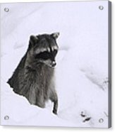 Coon Needs Snowshoes Acrylic Print
