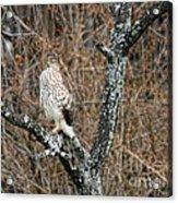 Coopers Hawk 0741 Acrylic Print