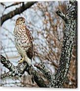 Coopers Hawk 0748 Acrylic Print