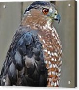 Coopers Hawk 3 Acrylic Print by Helen Carson