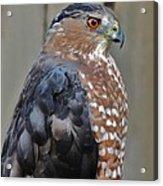 Coopers Hawk 3 Acrylic Print