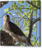 Cooper's Hawk In A Cottonwood Acrylic Print