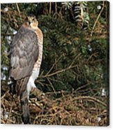 Coopers Hawk In Predator Mode Acrylic Print