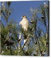 Coopers Hawk In Tree Acrylic Print