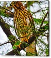 Cooper's Hawk Acrylic Print
