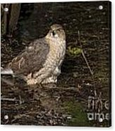 Coopers Hawk Pictures 135 Acrylic Print