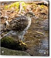 Coopers Hawk Pictures 61 Acrylic Print