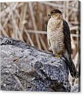 Coopers Hawk Pictures 91 Acrylic Print
