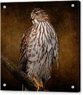 Coopers Hawk Portrait 1 Acrylic Print
