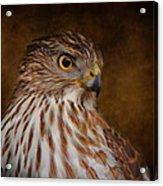 Coopers Hawk Portrait 2 Acrylic Print
