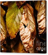 Copper Beech Leaves Acrylic Print