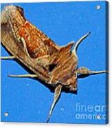 Copper Crest Shield Moth Acrylic Print