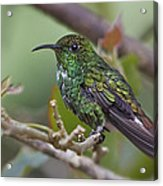 Copper-headed Emerald Beauty Acrylic Print