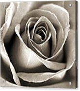 Copper Rose Acrylic Print