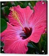 Coral Hibiscus Acrylic Print