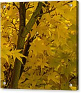 Coral Maple Fall Color Acrylic Print