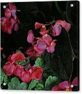 Coral Petals Acrylic Print