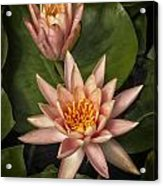 Coral Pink Water Lilies Acrylic Print