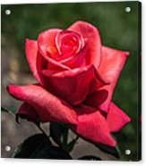 Coral Rose Acrylic Print