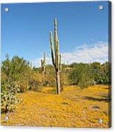 Cordon Cactus And Yellow Wildflowers Acrylic Print