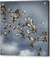 Corella Flock Acrylic Print