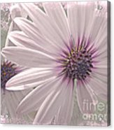 Coreopsis - Dreaming In Pink Acrylic Print