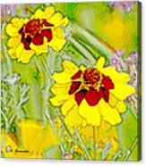 Coreopsis Flowers Acrylic Print