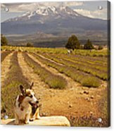 Corgi And Mt Shasta Acrylic Print