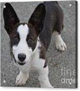 Corgi Puppy Acrylic Print