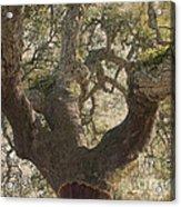 Cork Oak Tree Acrylic Print