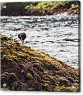 Cormorant - Montague Island - Australia Acrylic Print
