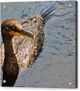 Cormorant After A Swim Acrylic Print