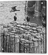 Cormorant Landing Black And White Acrylic Print