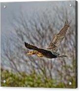 Cormorant On Wings Acrylic Print