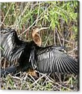 Cormorant Wingspan Acrylic Print