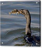 Cormorant With Fish Acrylic Print
