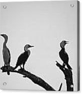 Cormorants-black And White Acrylic Print