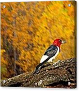 Corn Fed Woodpecker Acrylic Print